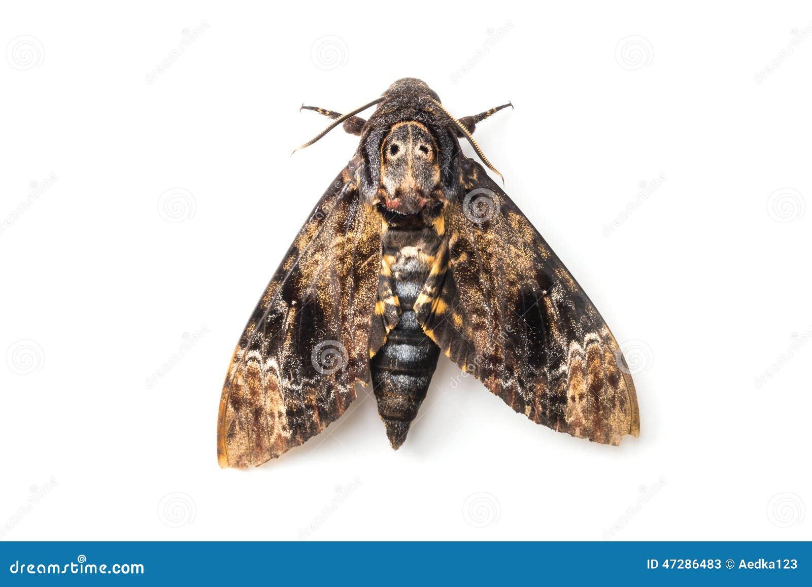 papillon de la mite en soie image stock image du fond cheveu 47286483. Black Bedroom Furniture Sets. Home Design Ideas