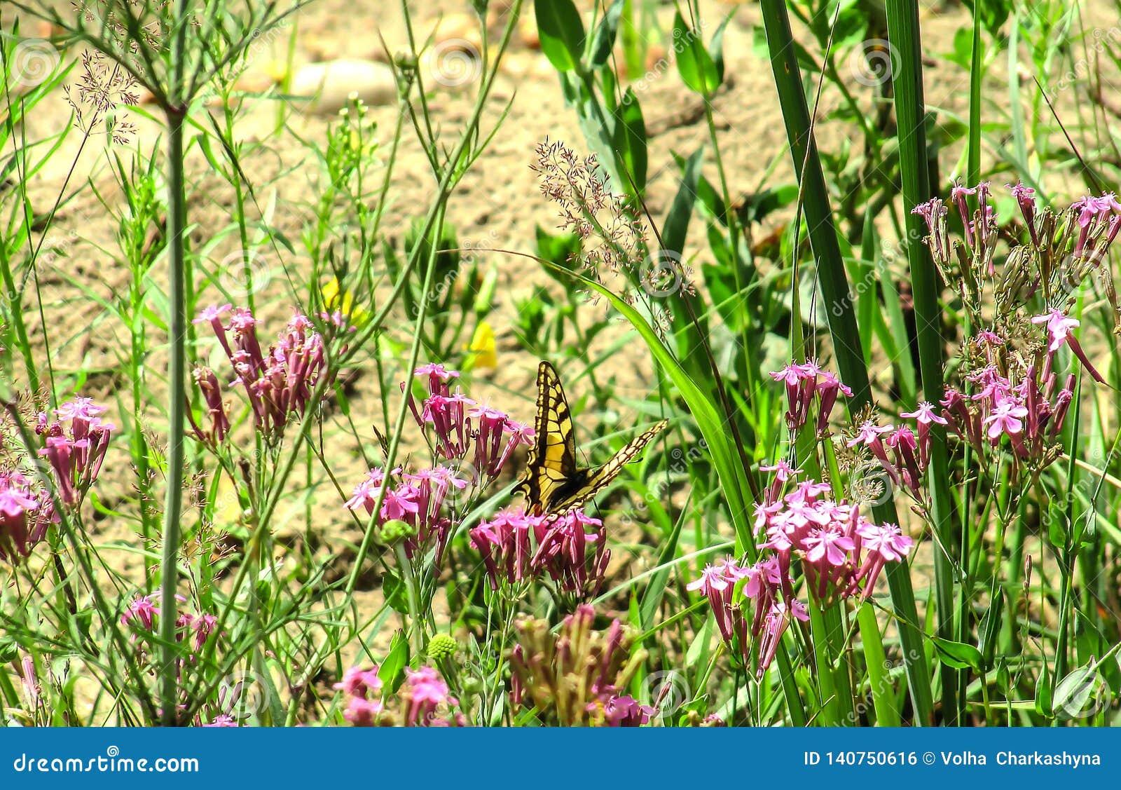 Papillon de machaon sur un fond des wildflowers