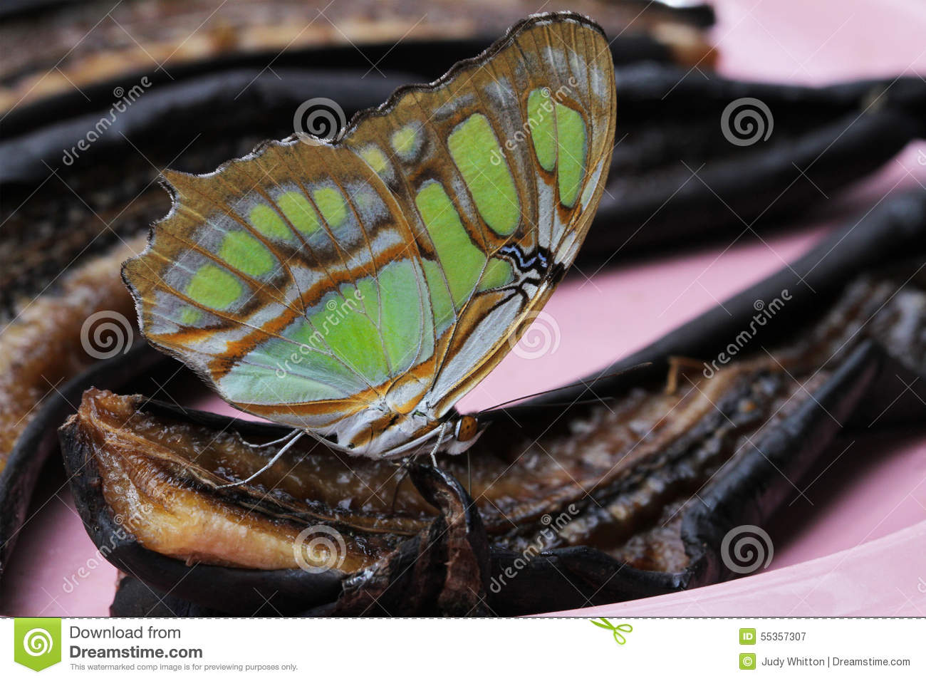 Papillon de malachite