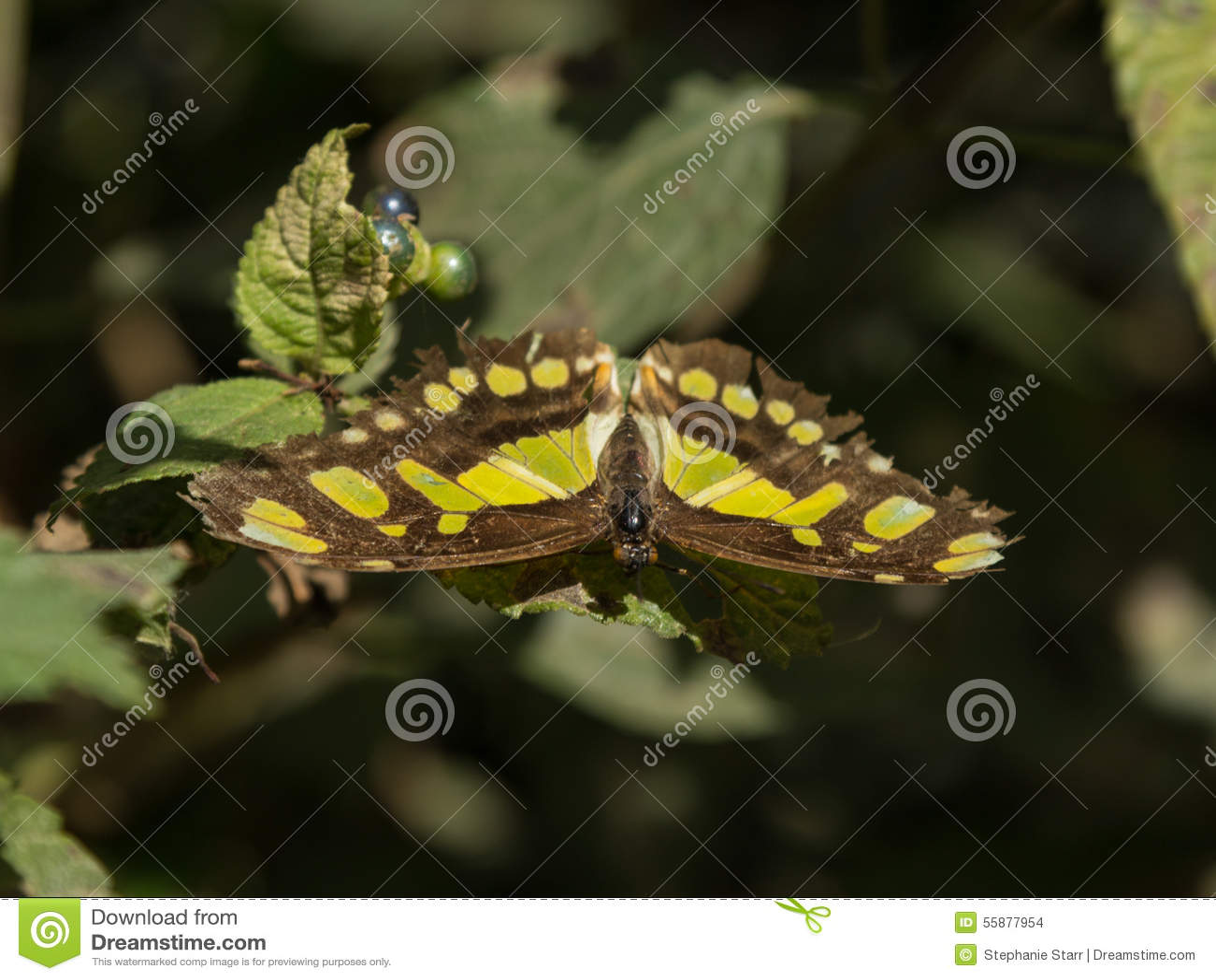 Papillon de malachite