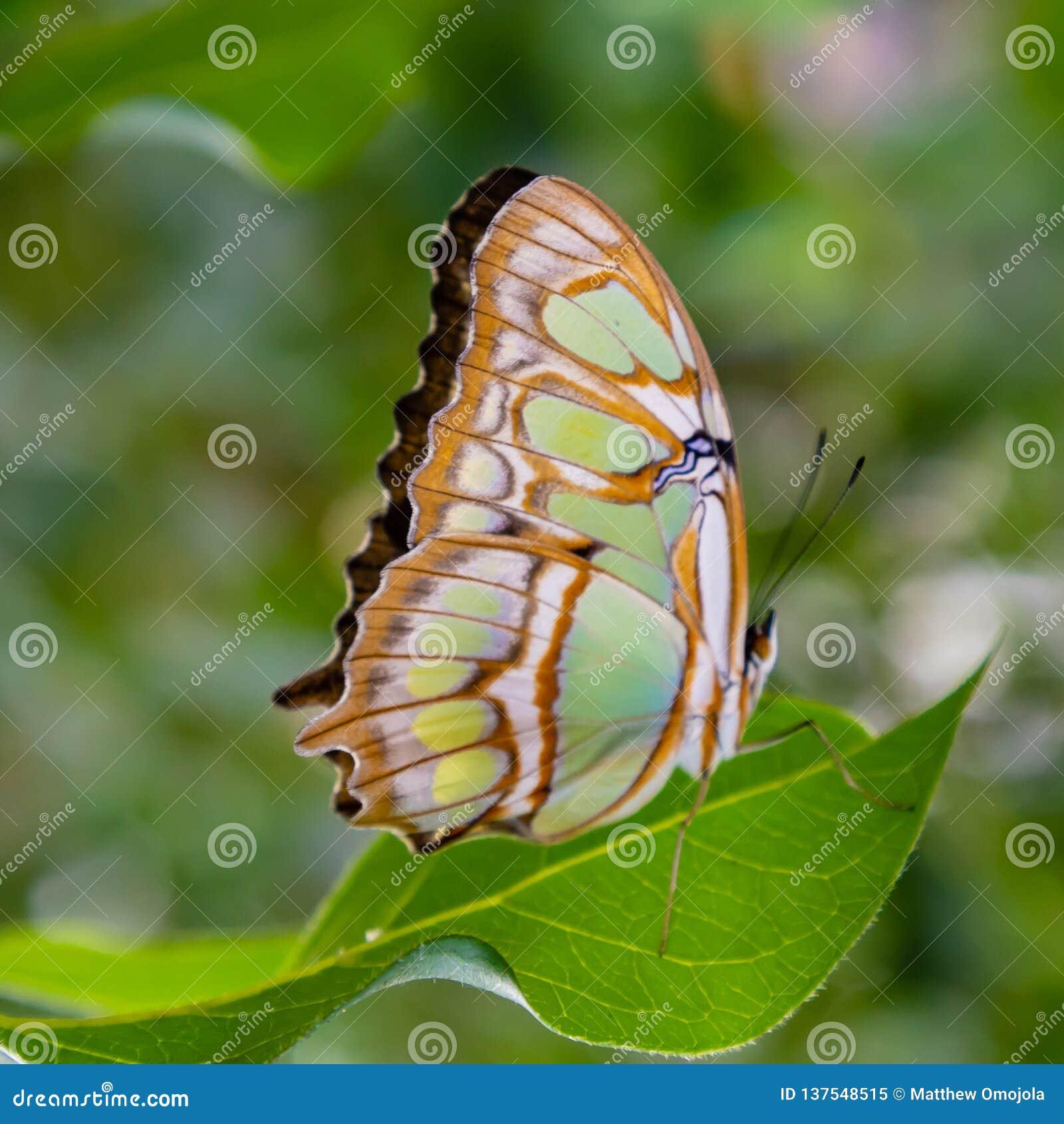 Papillon de malachite avec des ailes fermées