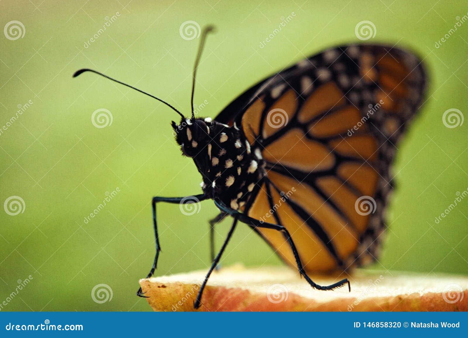 Papillon de monarque été perché sur la pomme
