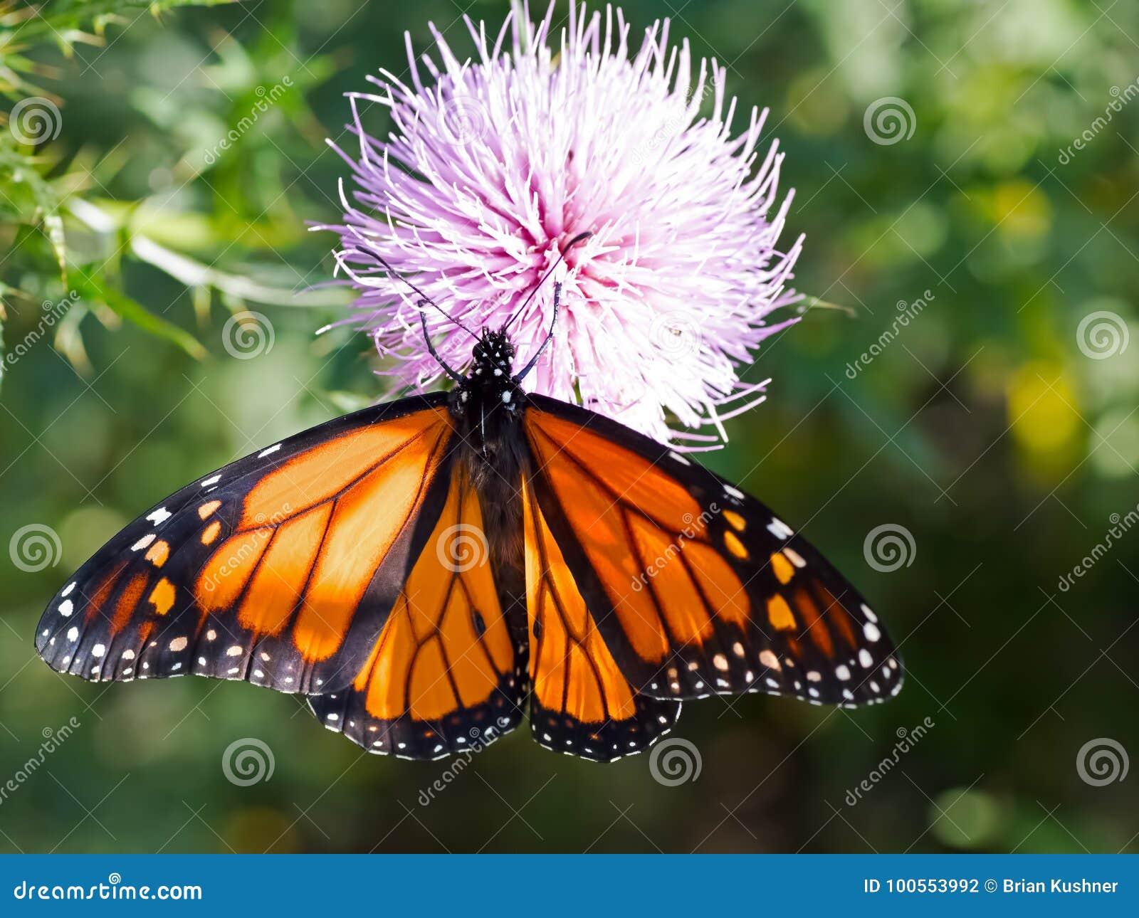 Papillon de monarque