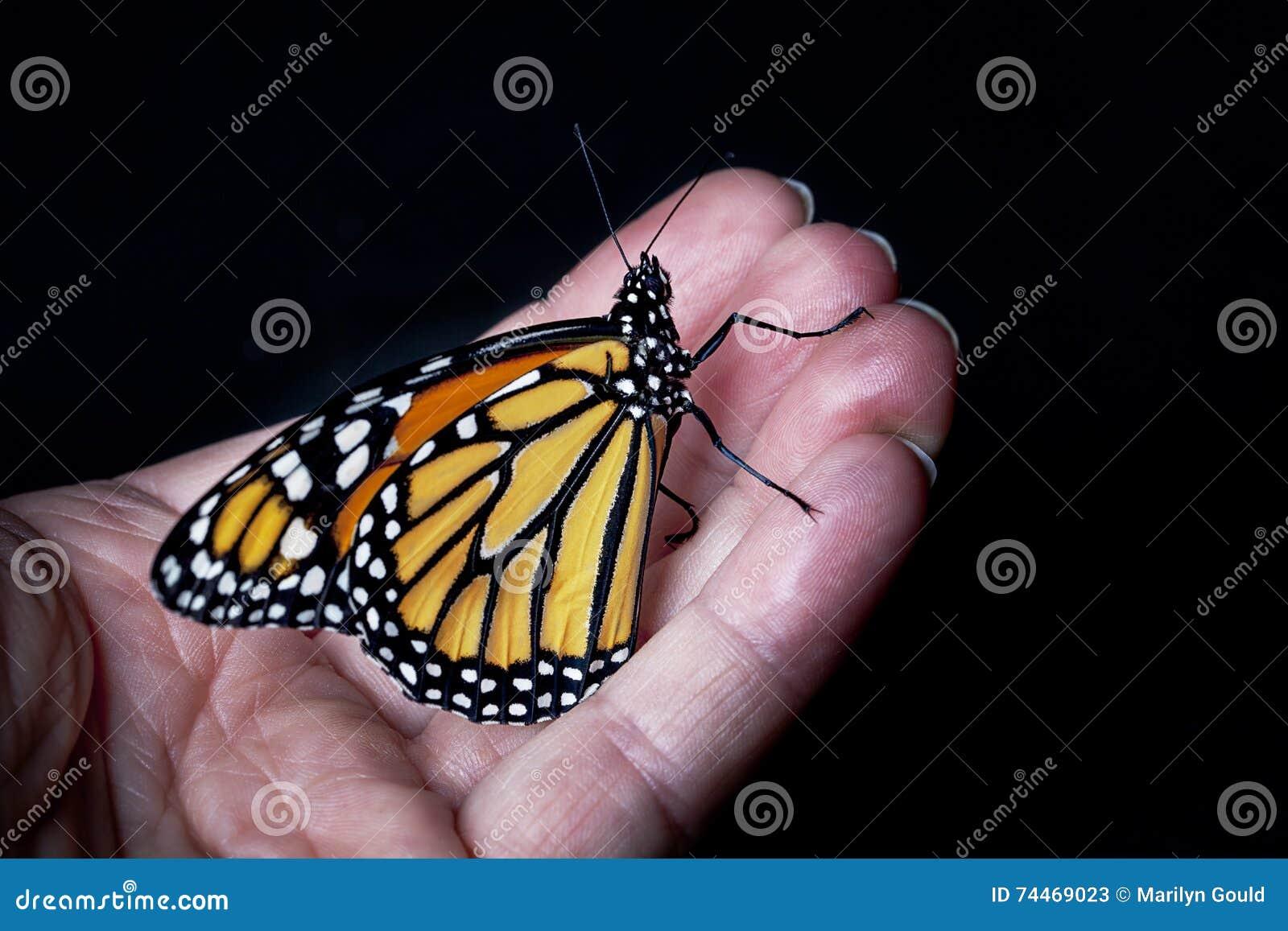 Papillon de monarque en main