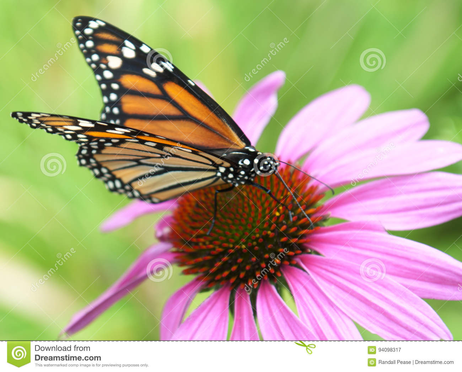 Papillon de monarque sur la fleur d echinacea
