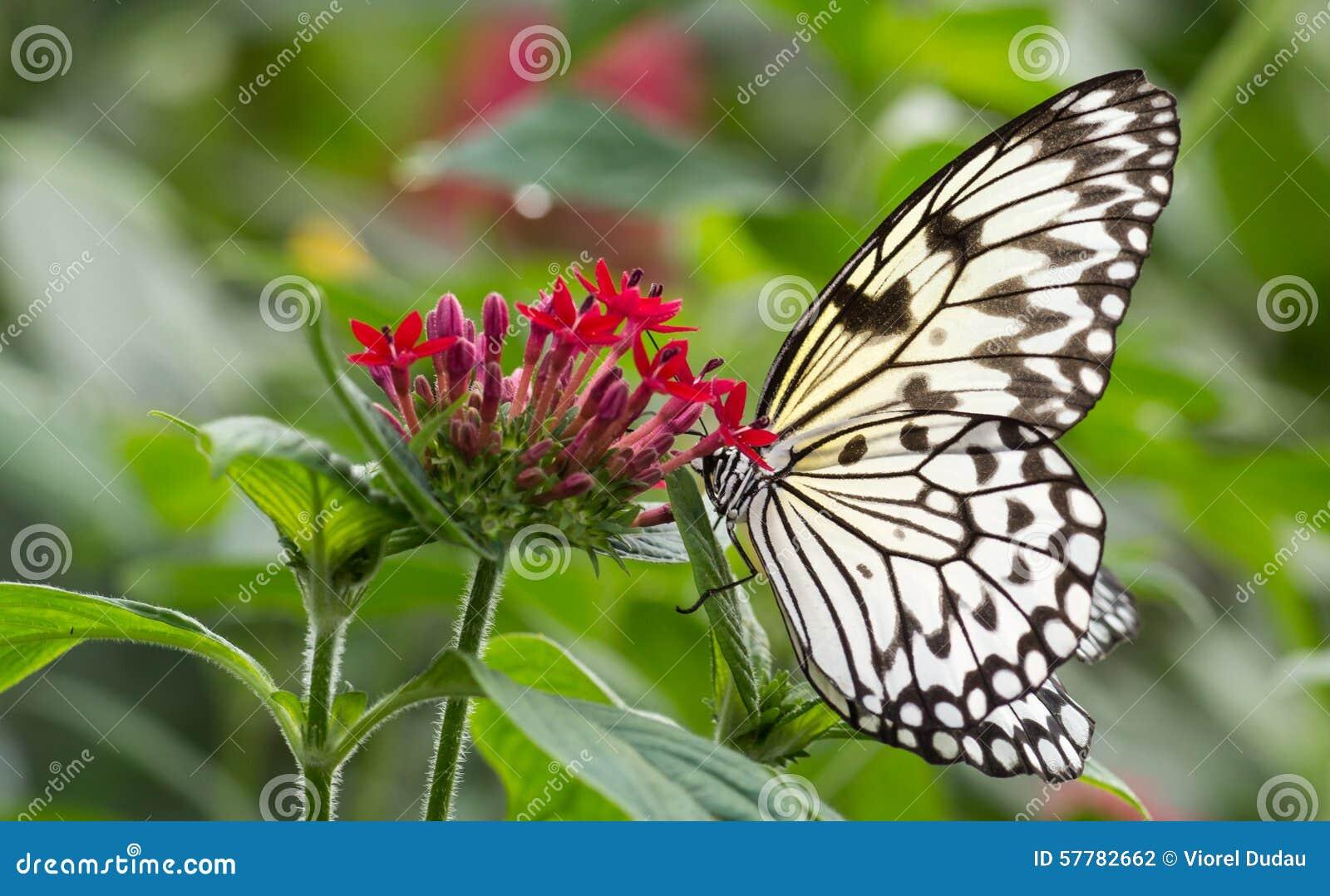 Papillon de nymphe d 39 arbre de malabar sur la fleur photo - Papillon fleur ...