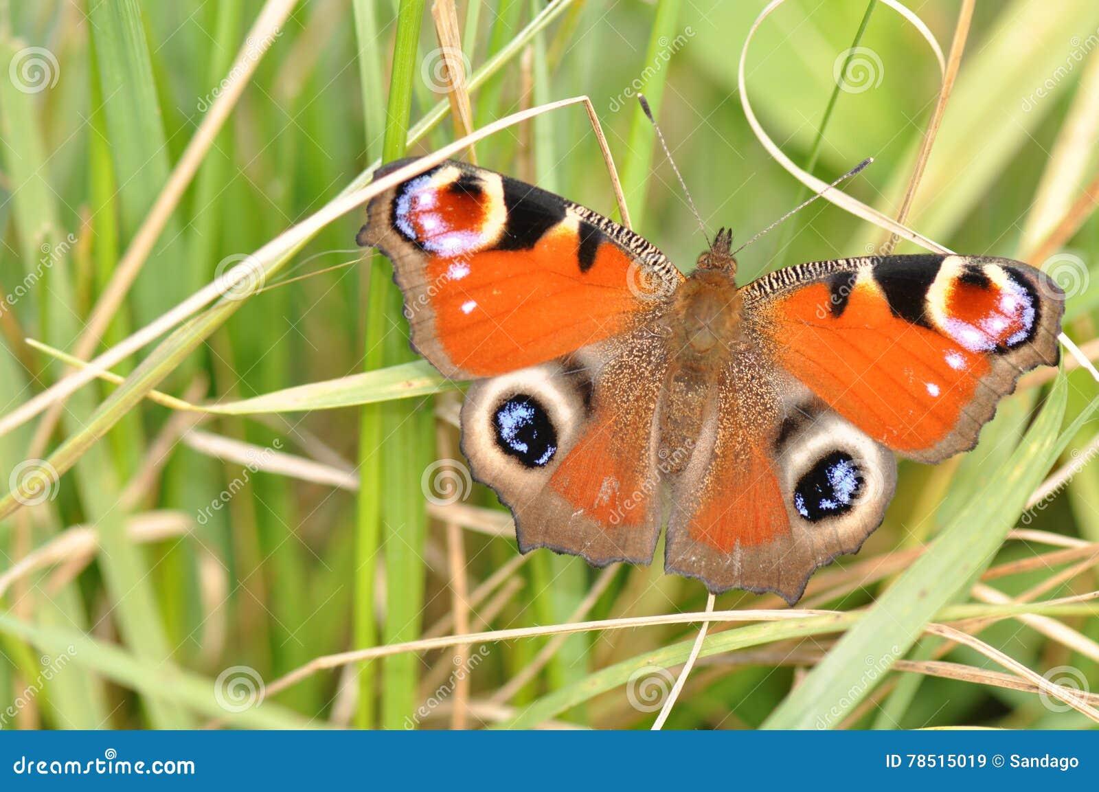 Papillon de paon