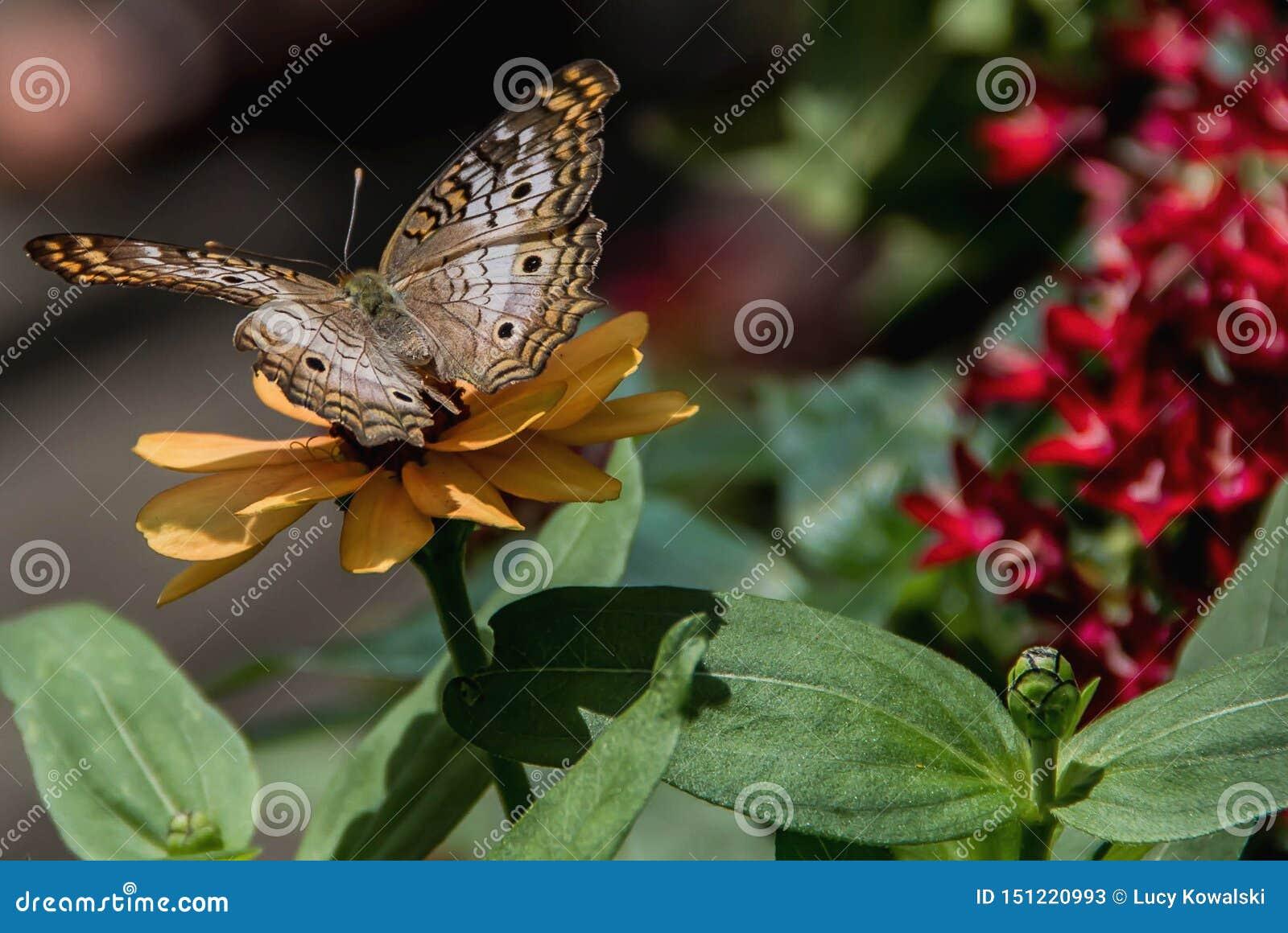 Papillon de paon blanc