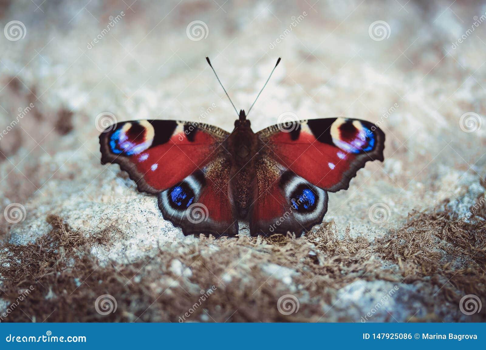 Papillon de paon se reposant au sol un jour ensoleillé d été sur un fond gris Papillon avec beau multi