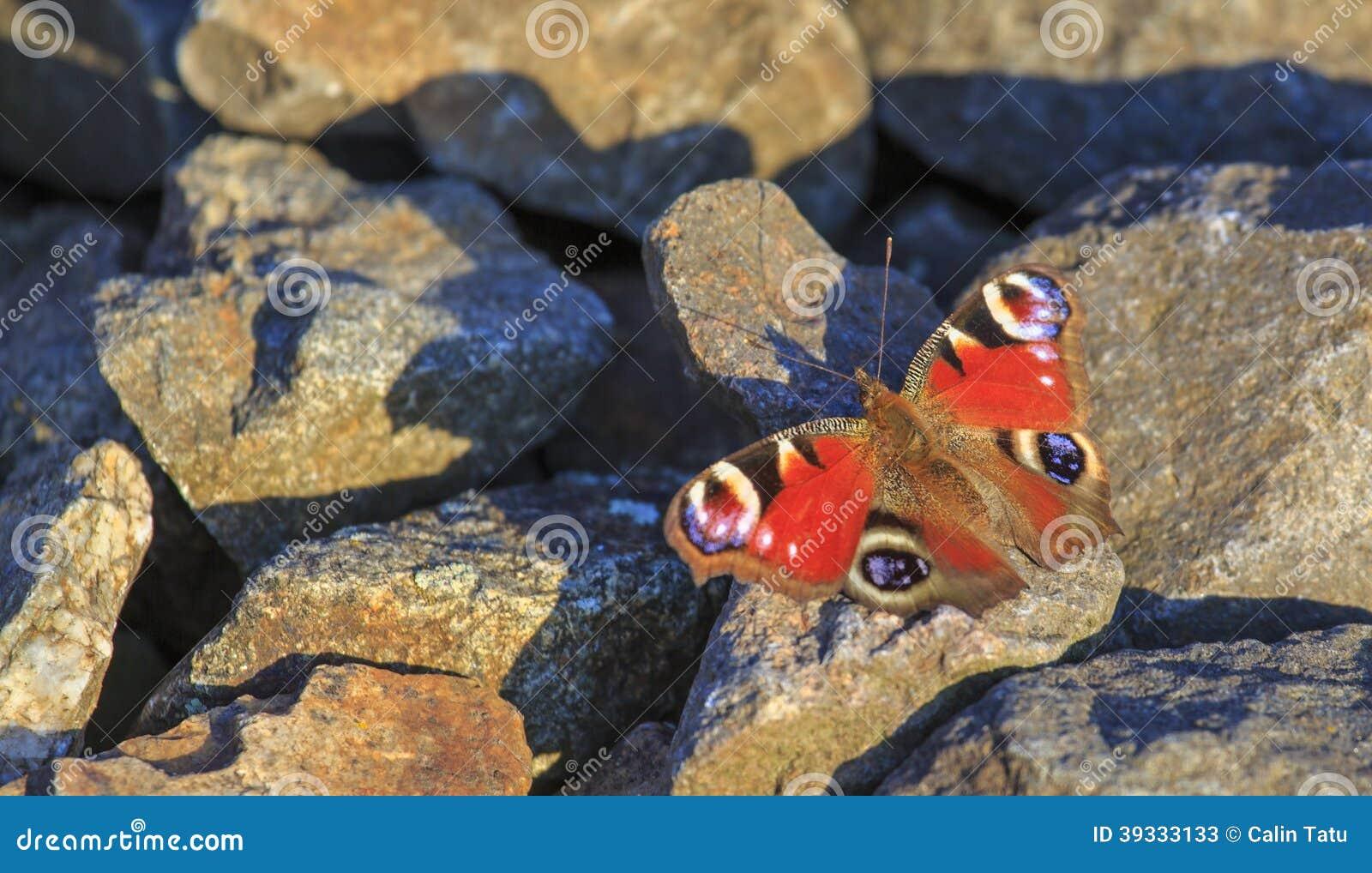 Papillon de paon se reposant sur des roches