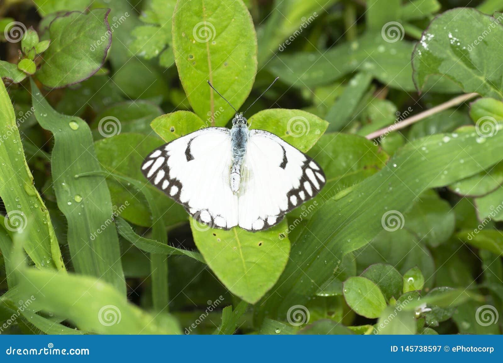 Papillon de papier de cerf-volant, leuconoe d idée près de Pune, maharashtra, Inde