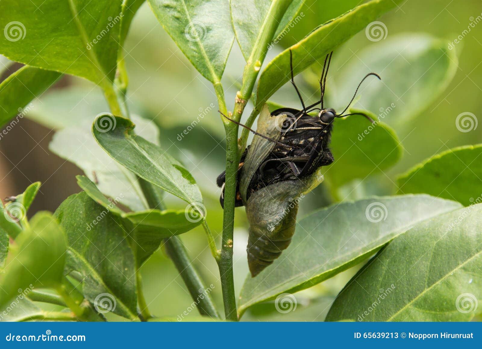 Papillon de ver
