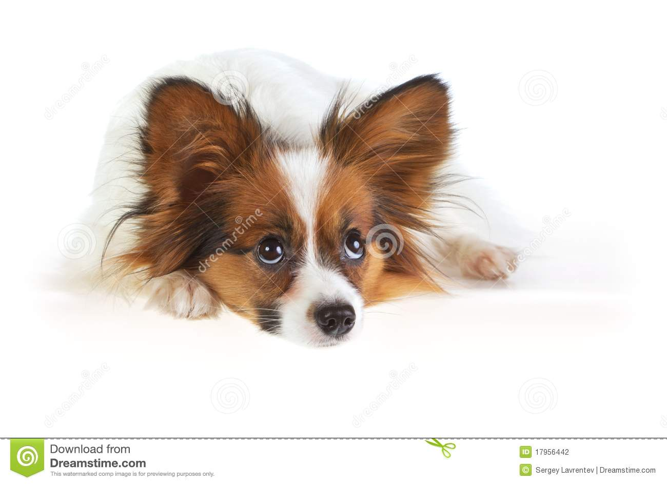 Papillon Dog Stock Photography Image 17956442