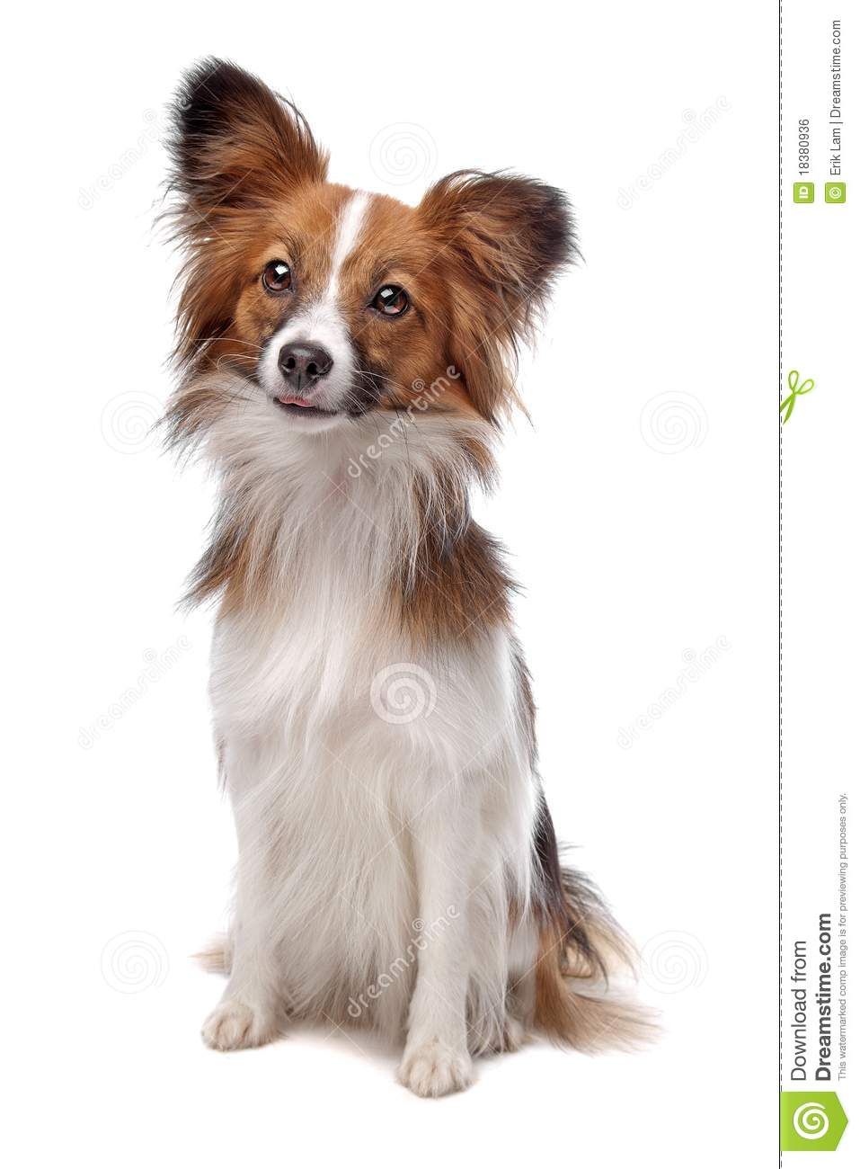 Beautiful Purebred Papillon Butterfly Dog Isolated On White Studio