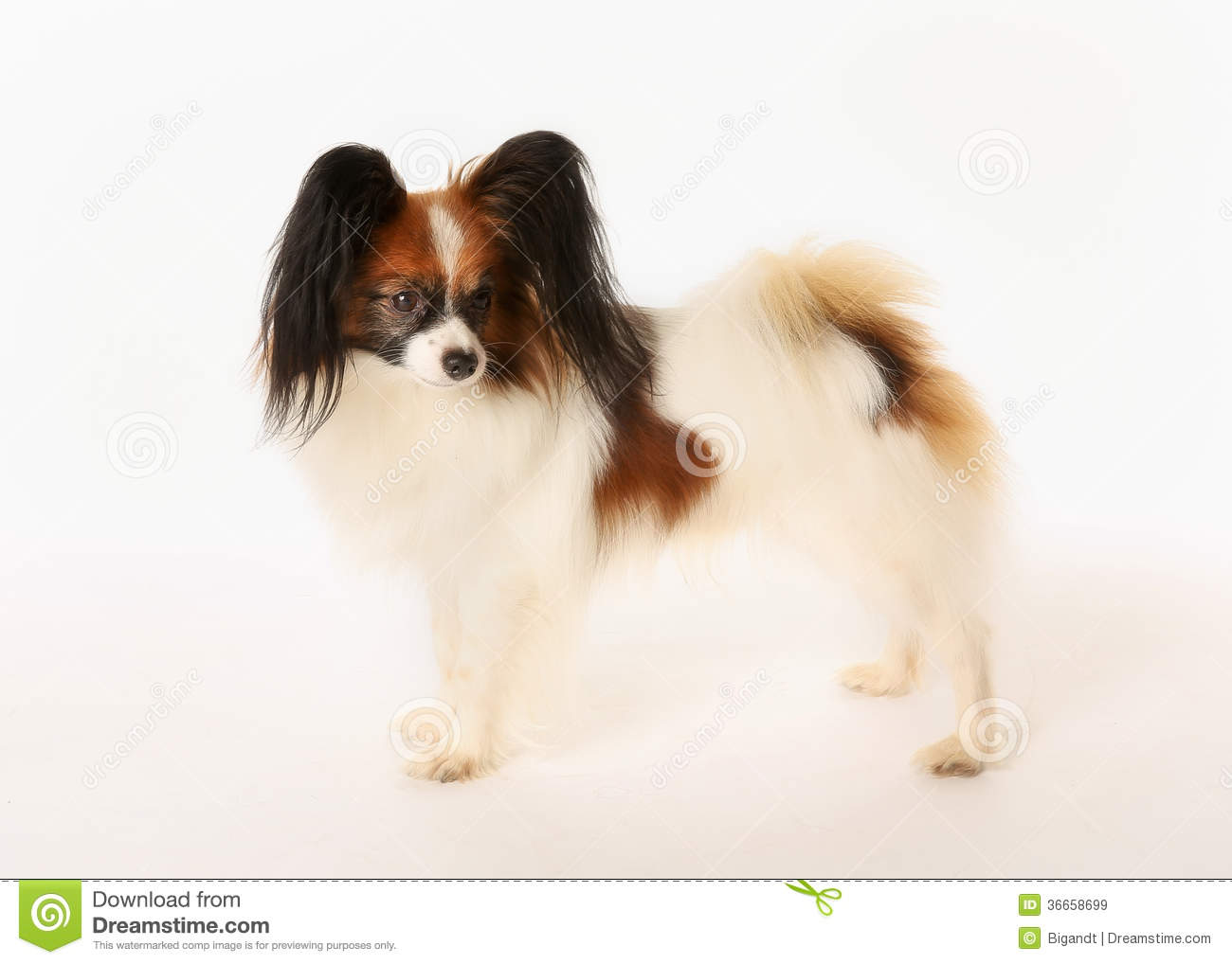 Papillon dog stock image. Image of domestic, pedigree ...