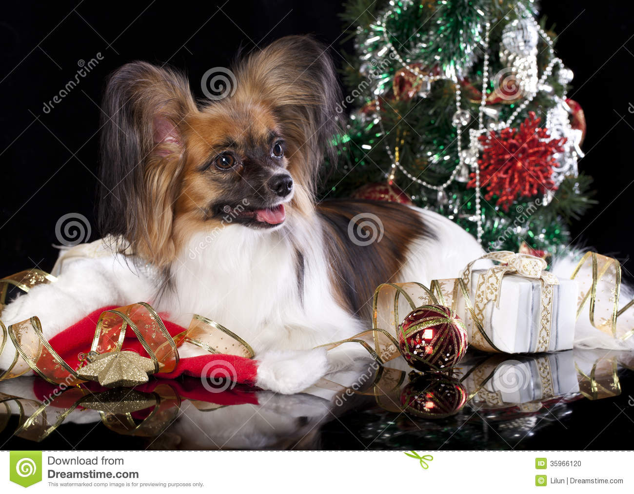 Papillon dog stock photo image of pedigree pooch furry for Papillon decoration