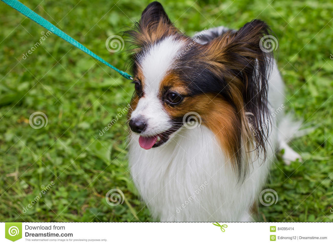 The Papillon dog is on the green grass.