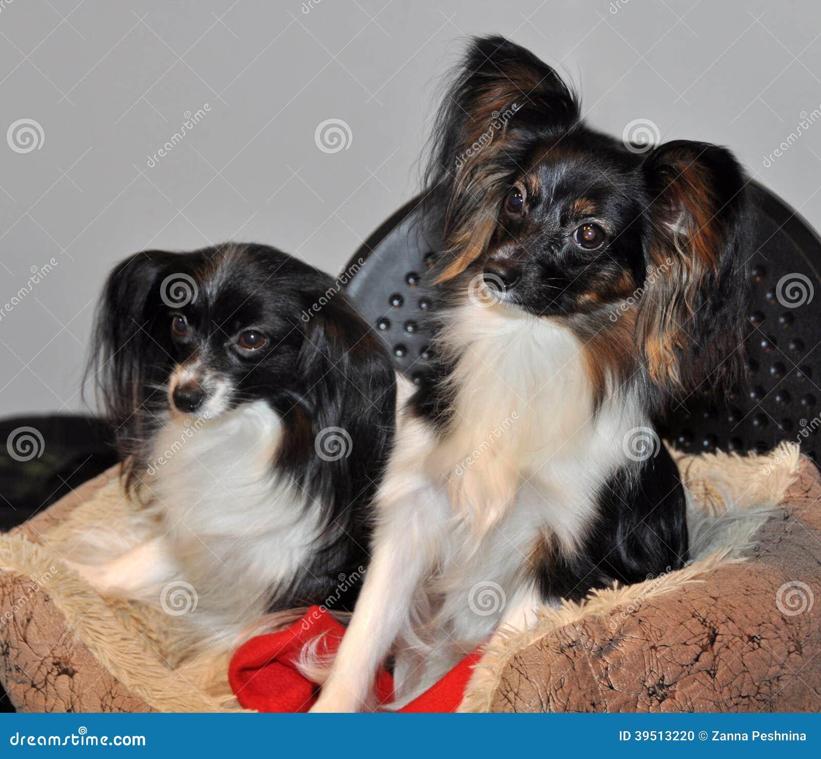 Papillon dog and Phalen dog