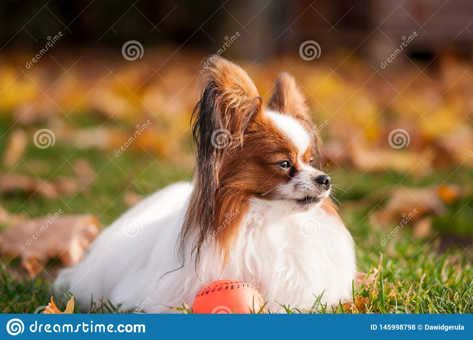 Papillon dog playing with ball outdoors