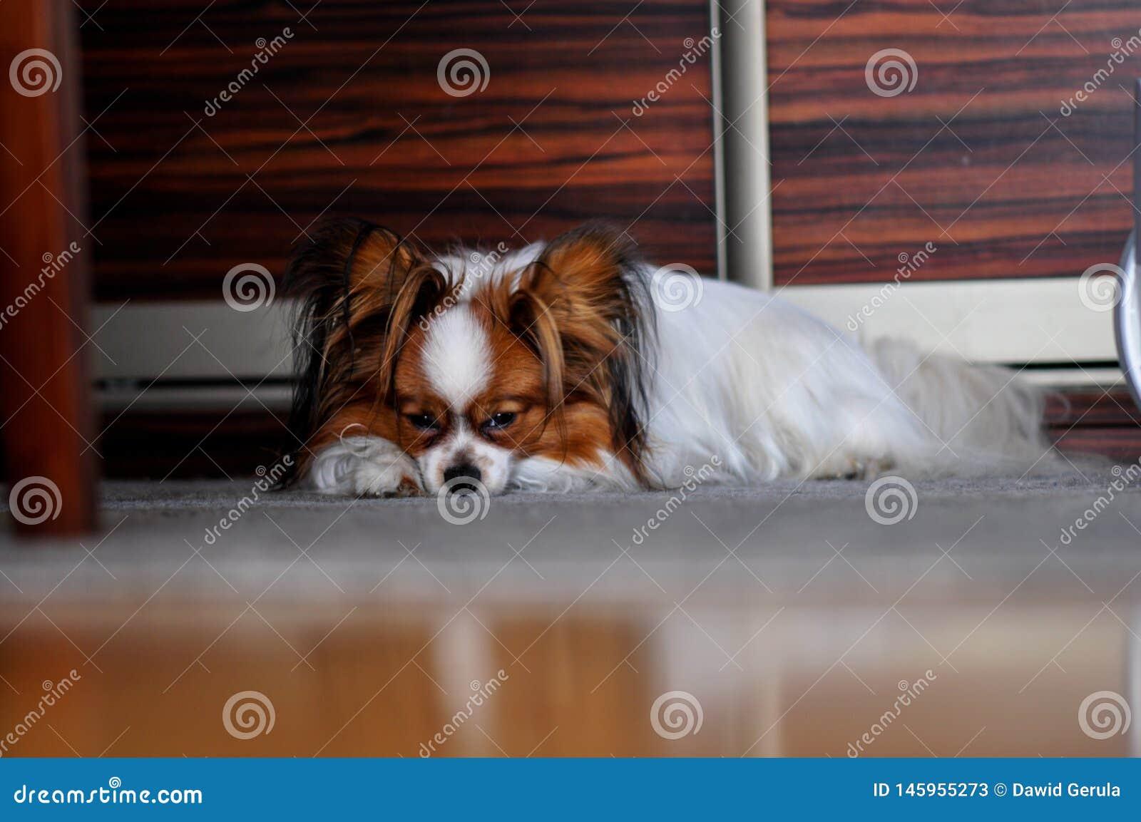 Papillon dog sleeping on the carpet
