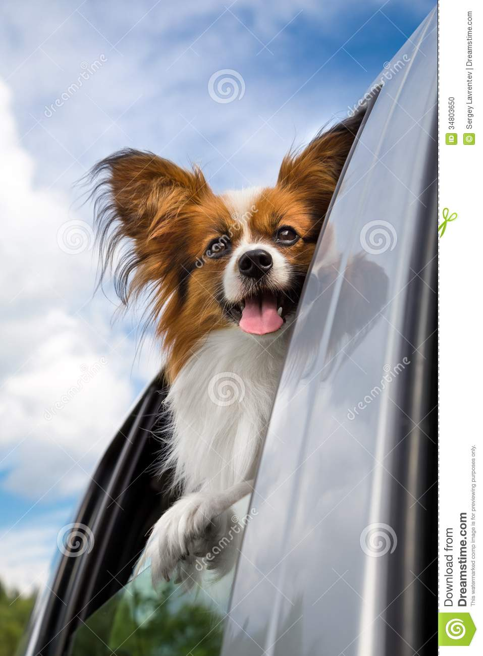Papillon Dog Traveling In The Car Stock Photo Image