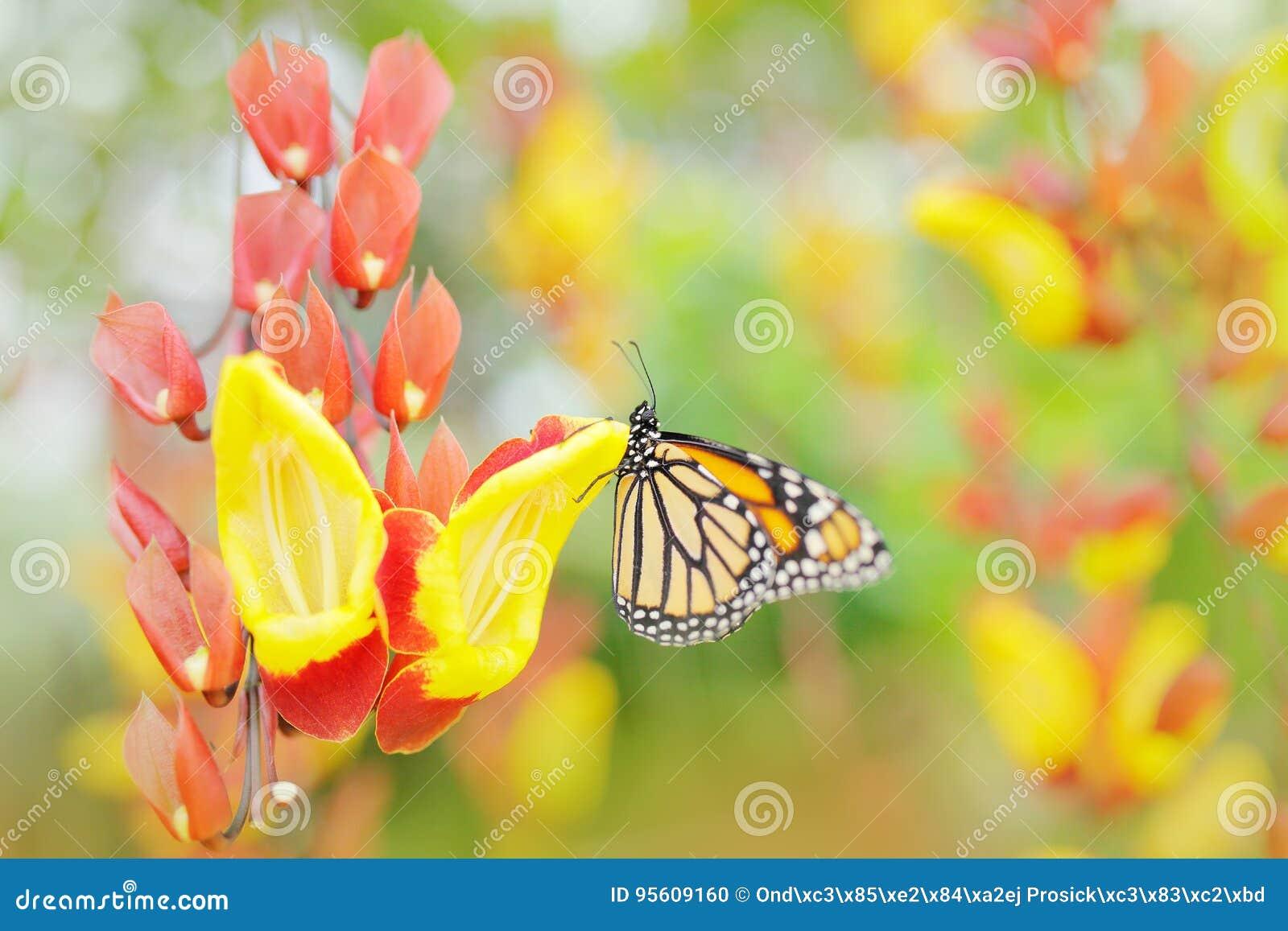 Papillon en fleurs oranges Monarque, plexippus de Danaus, papillon dans l habitat de nature Insecte gentil du Mexique Vue d art d