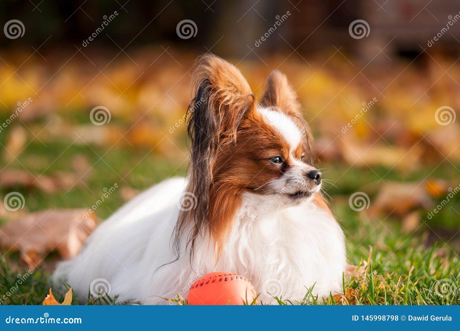 Papillon hund som spelar med bollen utomhus