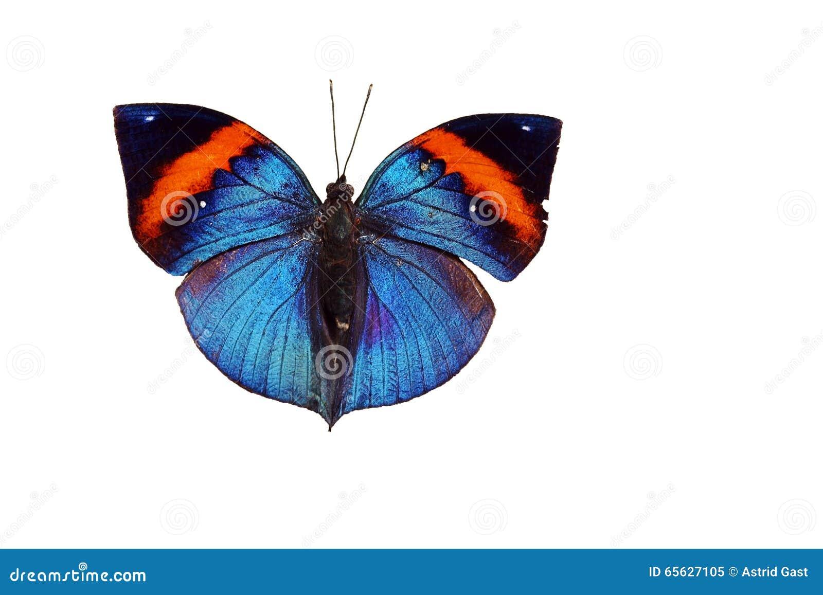 Papillon indien de feuille