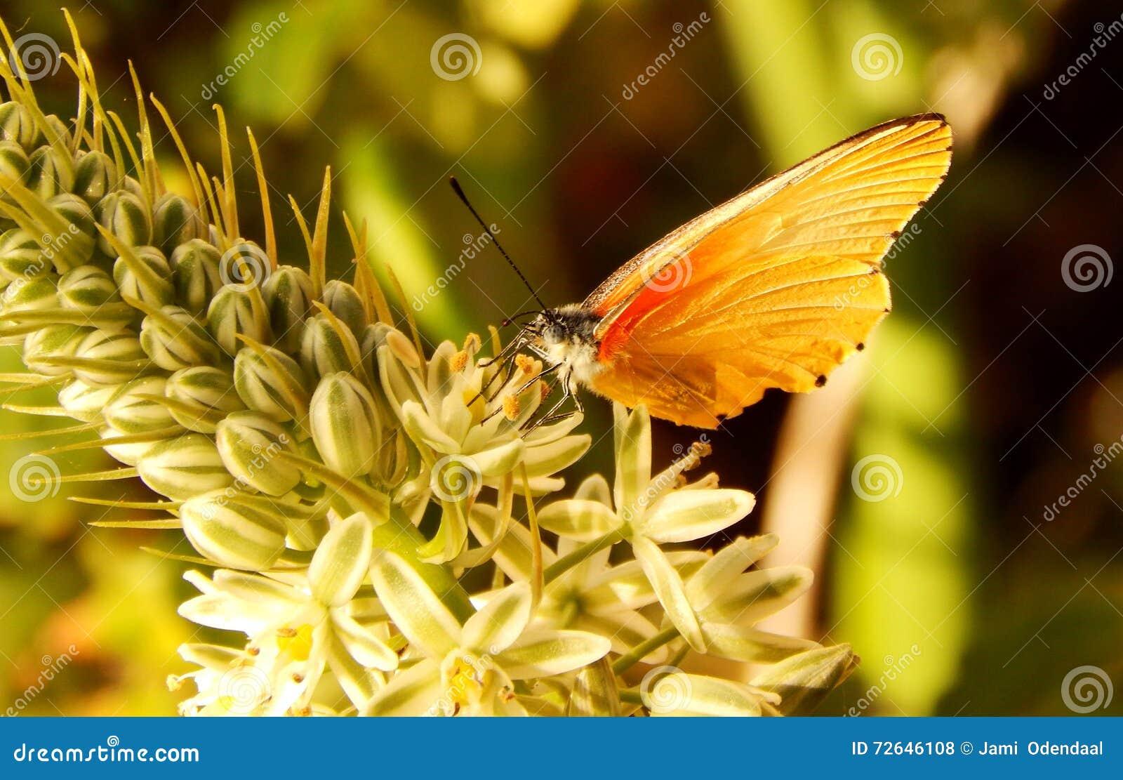 Papillon jaune et orange sur la fleur photo stock image - Image papillon et fleur ...