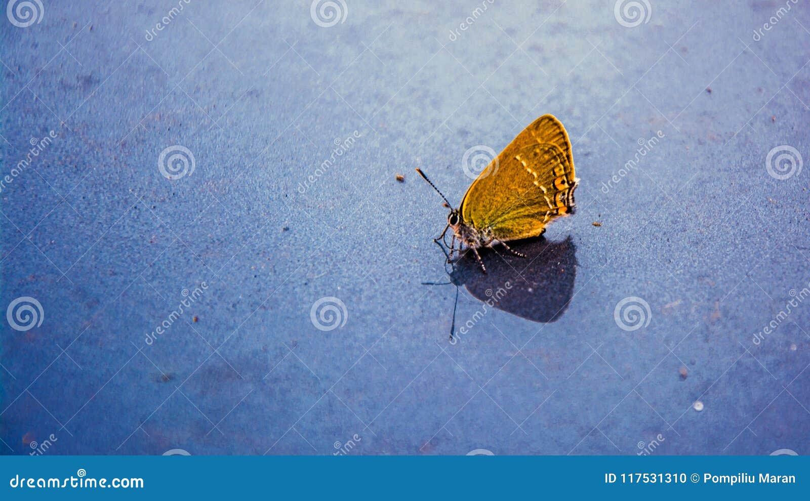 Papillon jaune sur un fond gris