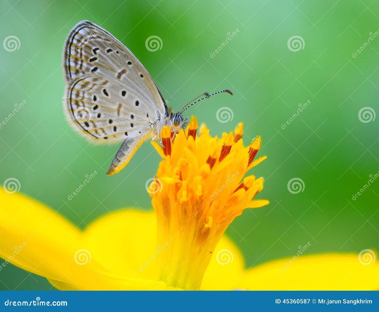 Papillon (Lesser Grass Blue)