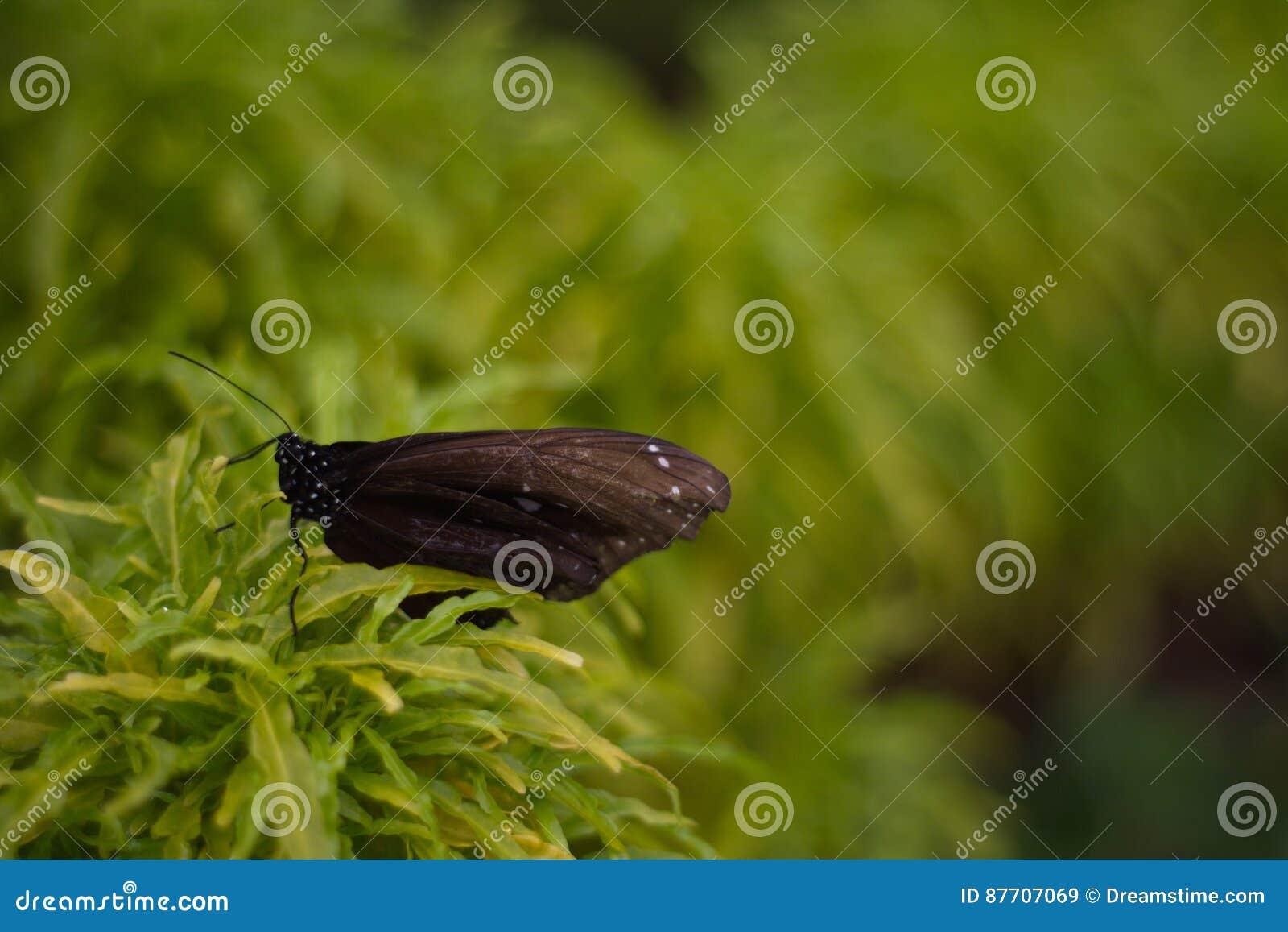 Papillon noir dans le jardin de papillon du beau parc de miniature de l Indonésie
