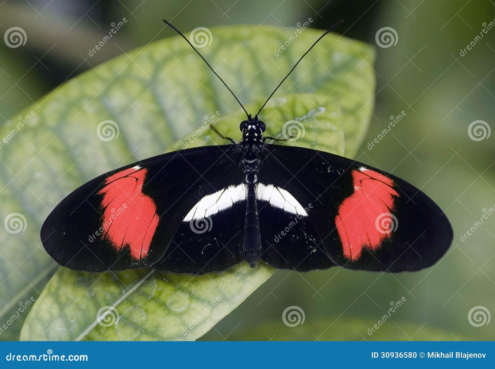 papillon noir rouge et blanc 1 photo stock image 30936580. Black Bedroom Furniture Sets. Home Design Ideas