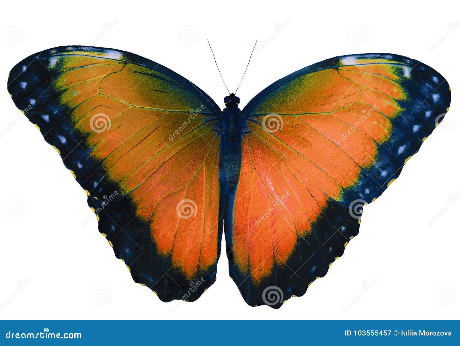 Papillon orange d isolement sur le fond blanc avec les ailes répandues