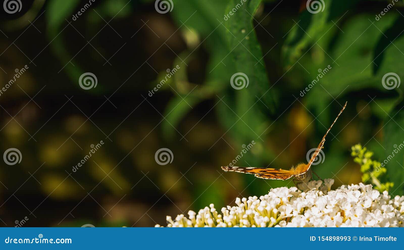 Papillon peint de dame rassemblant le pollen des fleurs de Buddleja