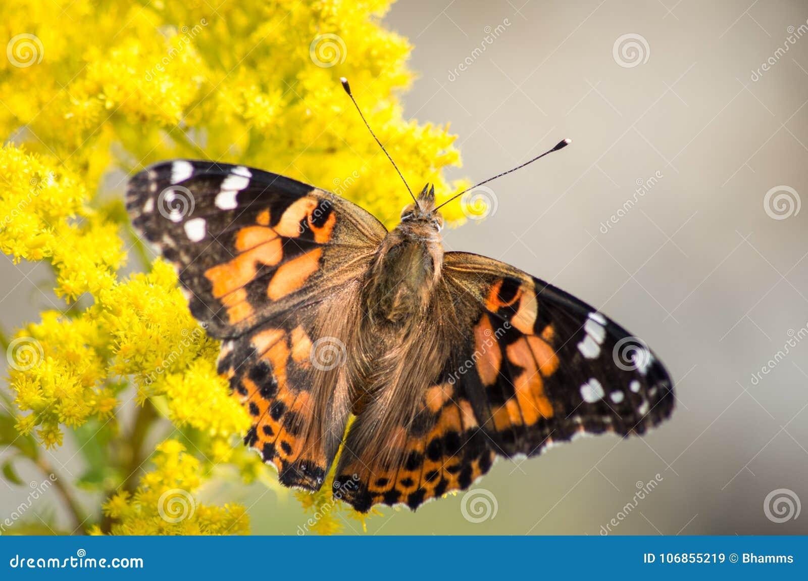 Papillon peint de Madame sur l usine jaune