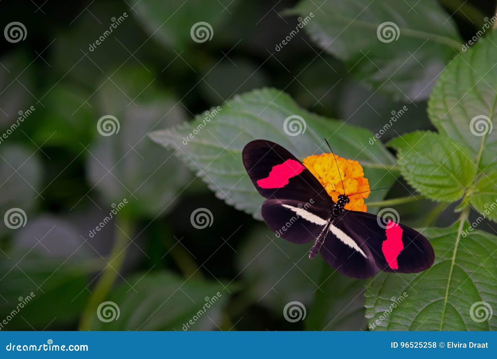 Papillon Rouge De Facteur, Se Reposant En Passant Sur Une