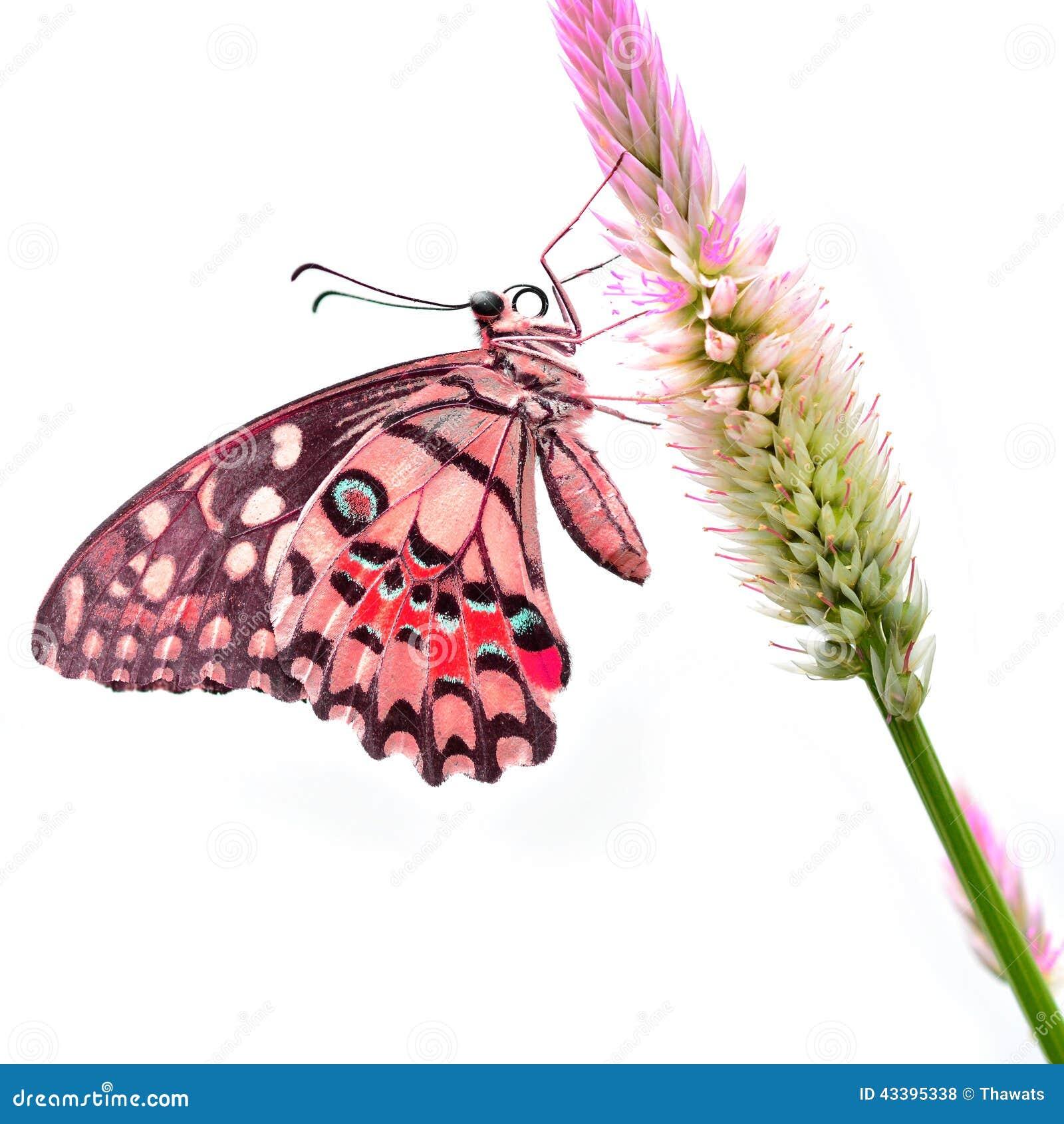 Papillon rouge sur la fleur