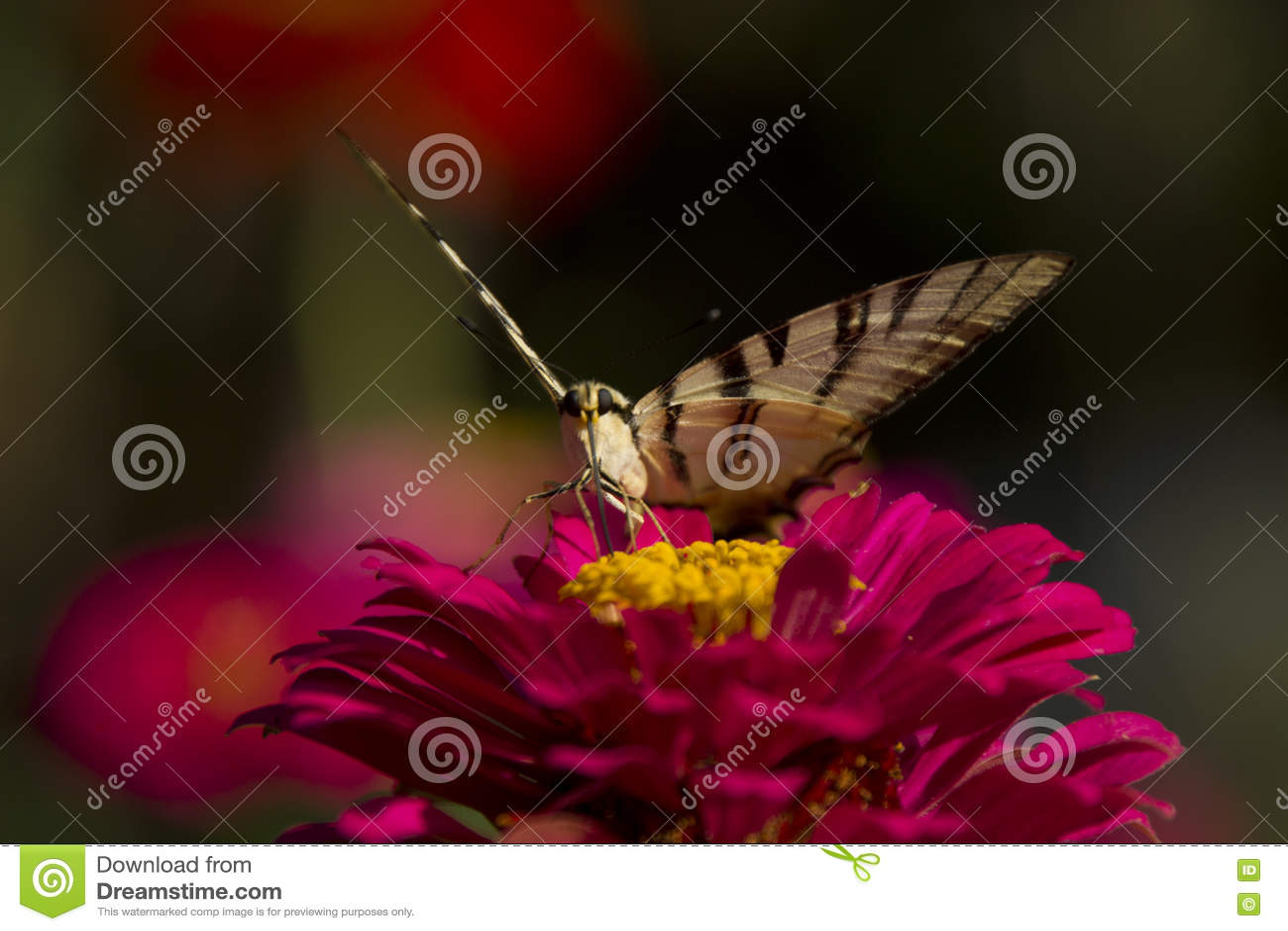 Papillon se reposant sur la fleur rouge