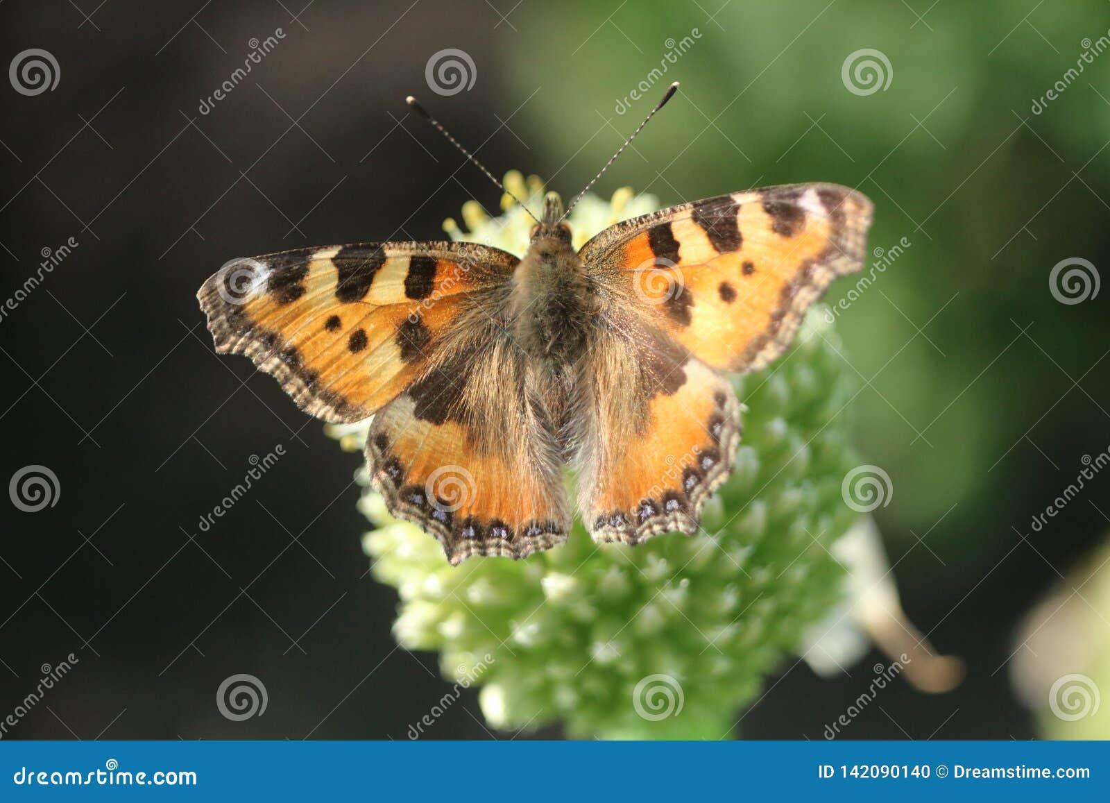 Papillon sur la fleur d oignon