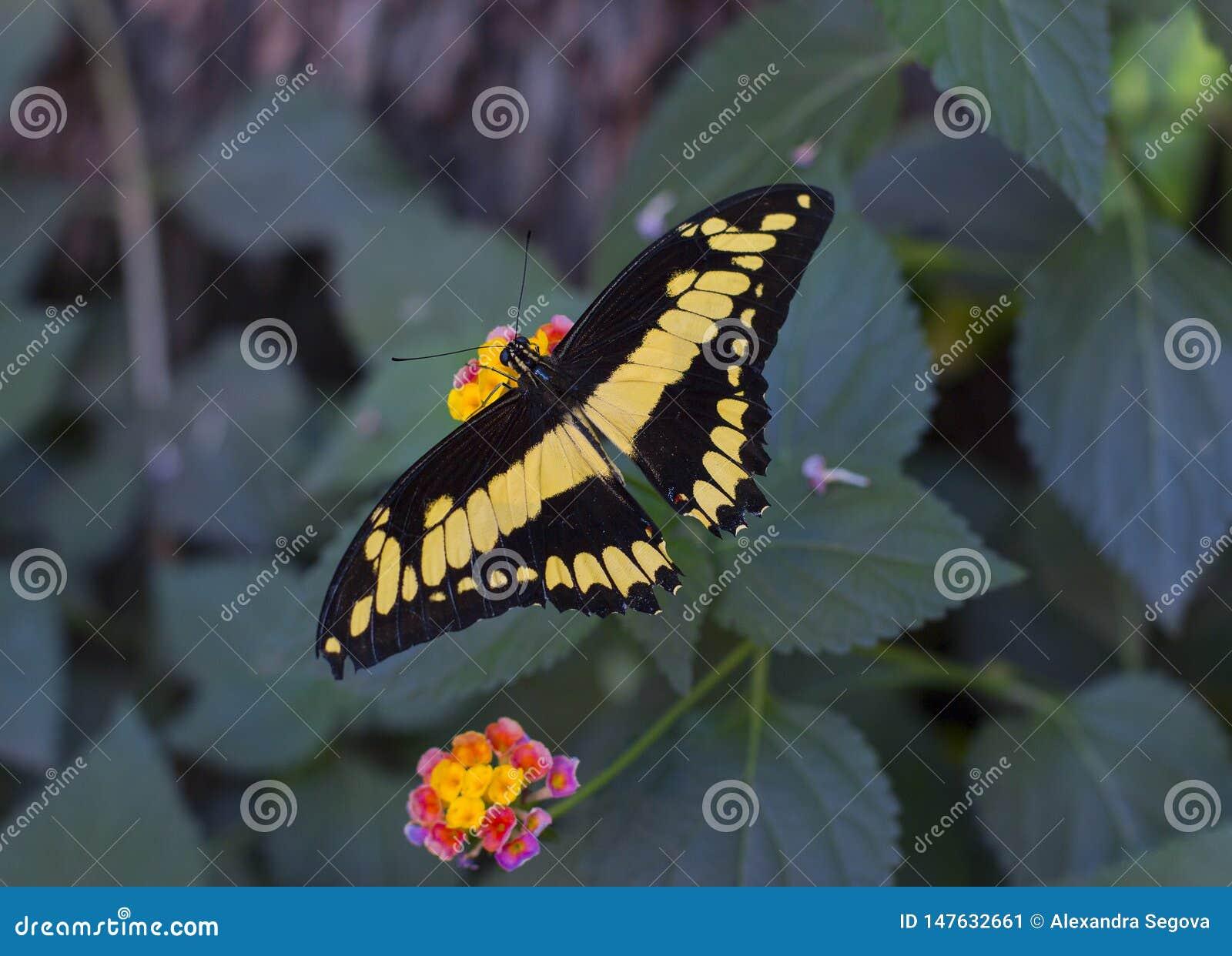 Papillon tropical jaune lumineux se reposant sur une fleur
