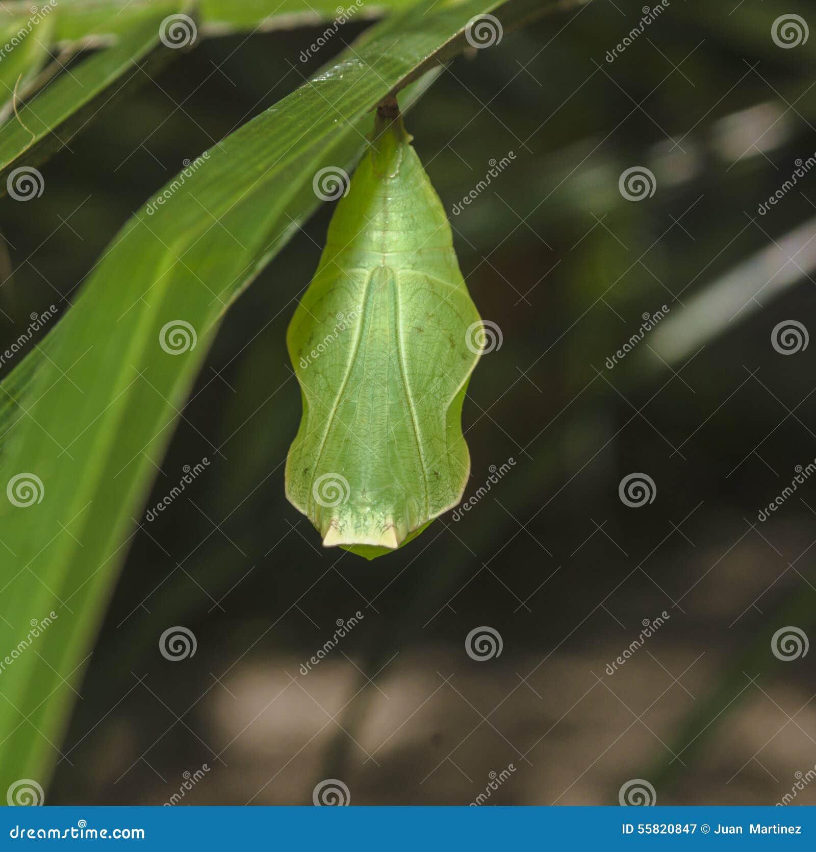 papillon vert de cocon image stock image du am rique. Black Bedroom Furniture Sets. Home Design Ideas