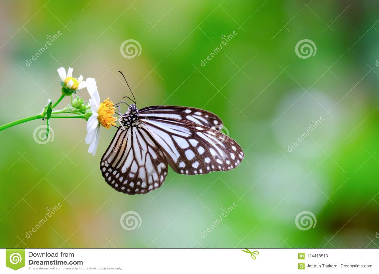 Papillon vitreux commun de tigre de plan rapproché