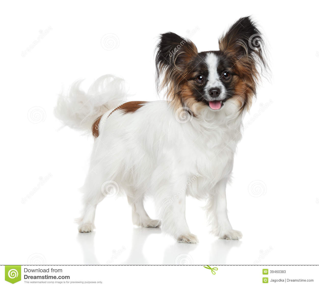 Papillonhond (Continentaal Toy Spaniel)