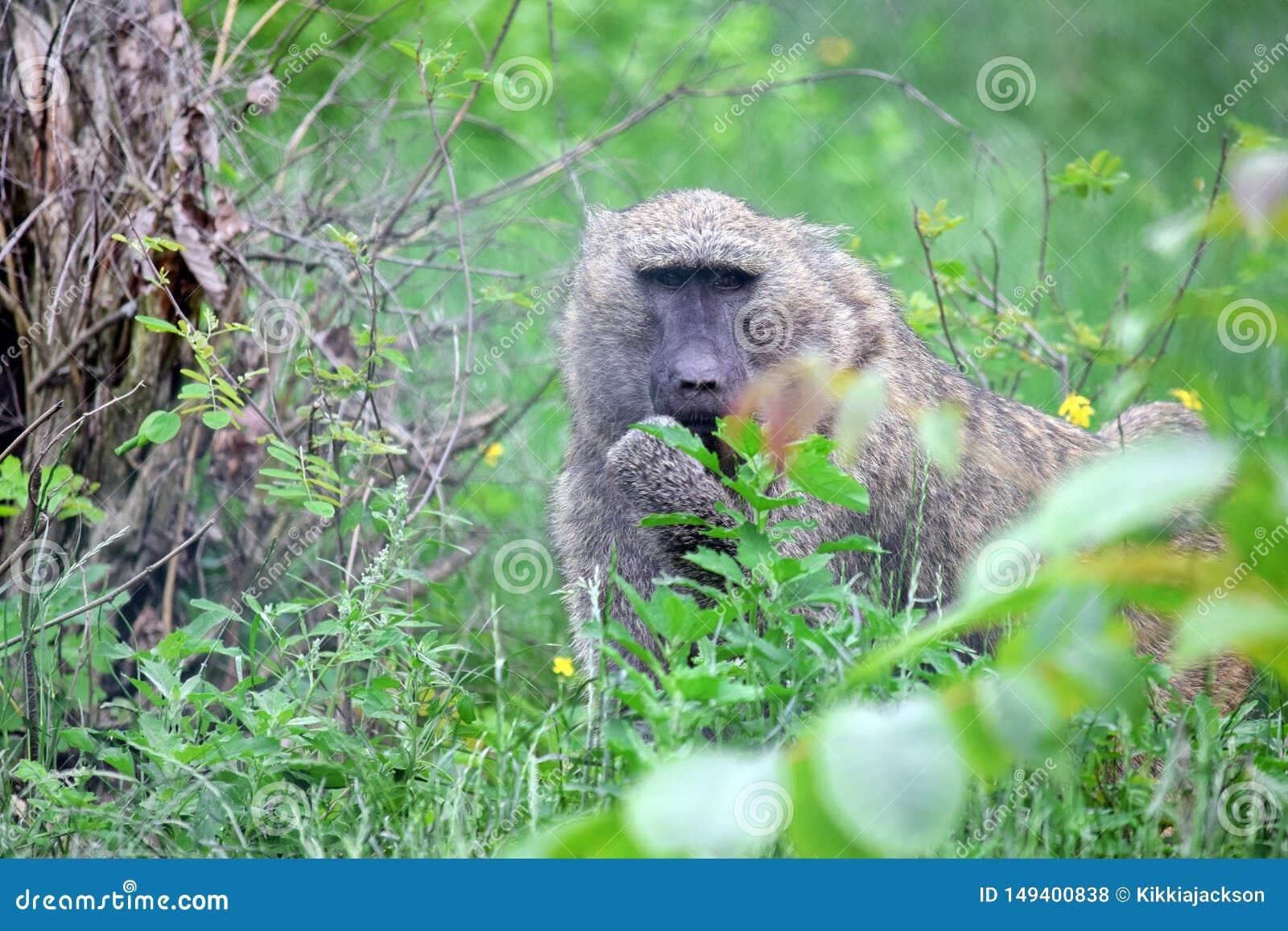 Papio Anubis de singe de babouin dans la nature