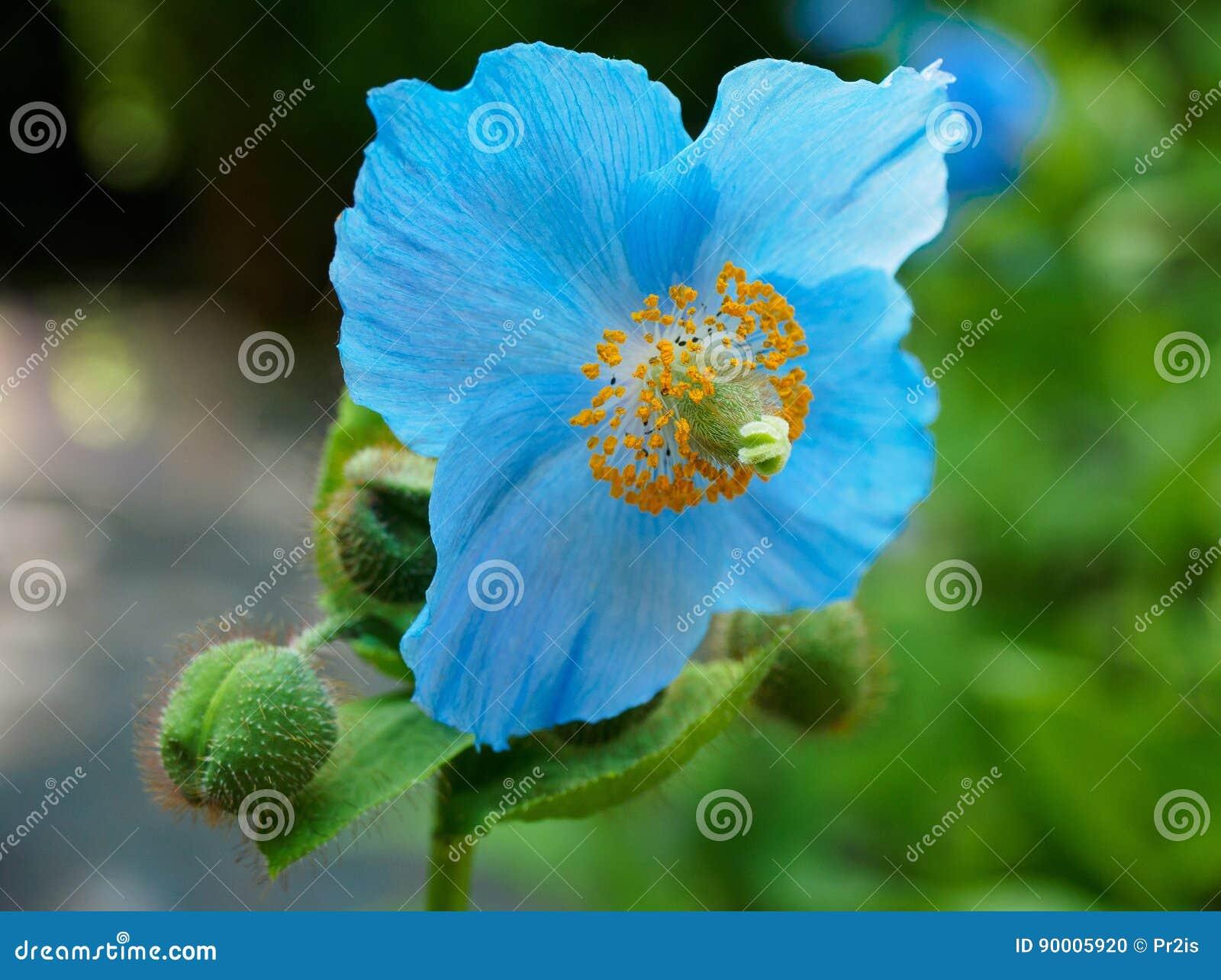 Papoila azul Himalayan