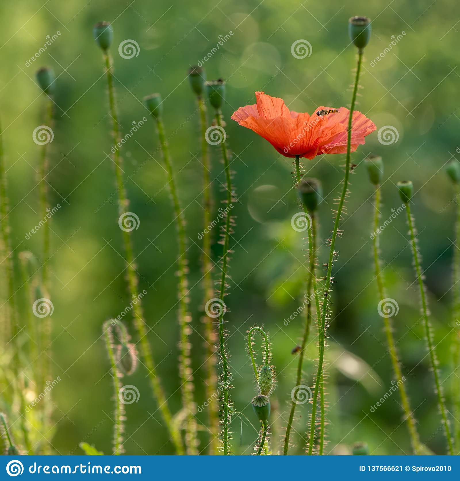 Papoila comum das flores