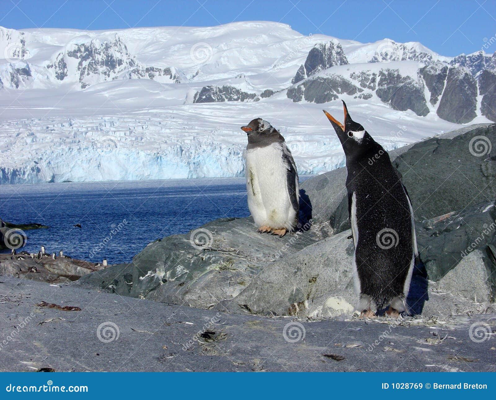Papou penguins