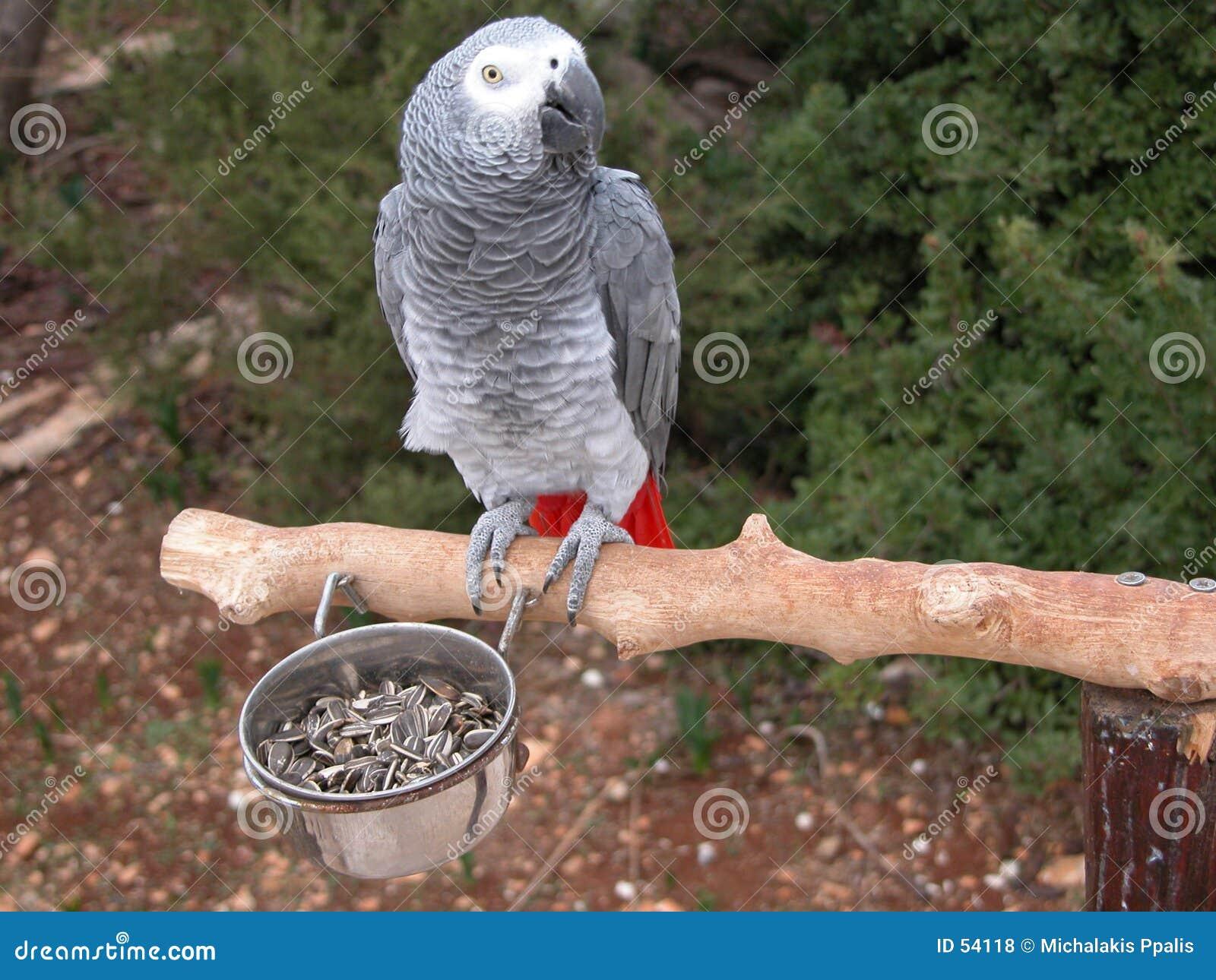 Download Pappagallo fotografia stock. Immagine di aviario, grigio - 54118
