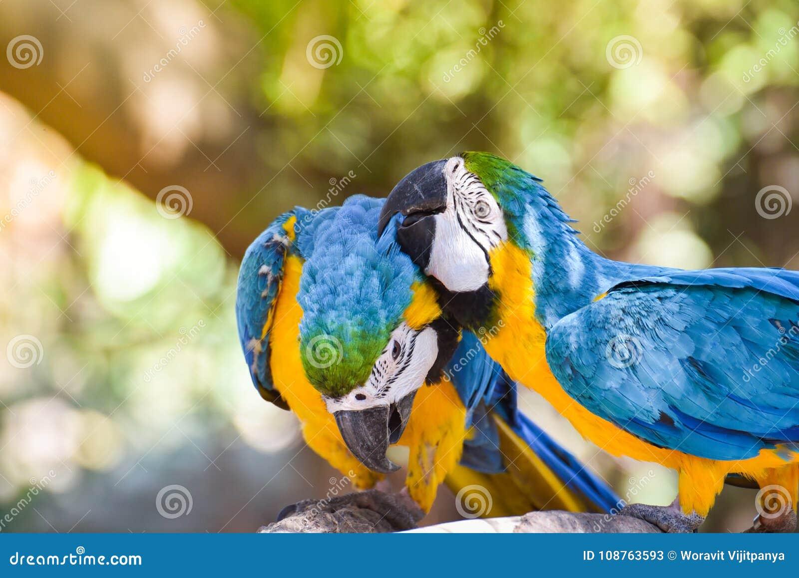 Pappagallo degli uccelli dell ara